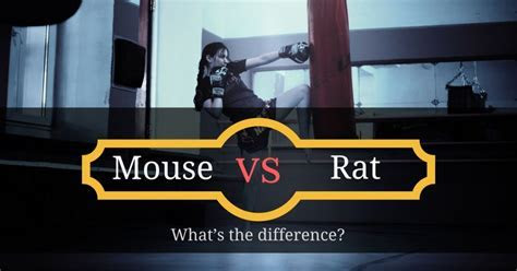 Mouse vs Rat: What?s the difference?   Pest Survival Guide
