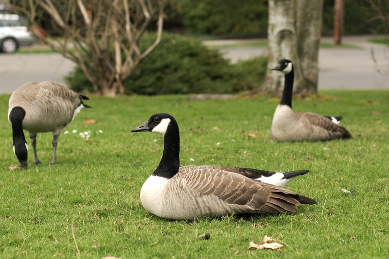 Canadian geese greeting us at school
