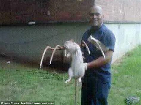 How big ARE New York's rats? Researcher catches one and a half pound rodent   Daily Mail Online
