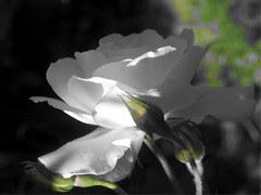 rose,101105