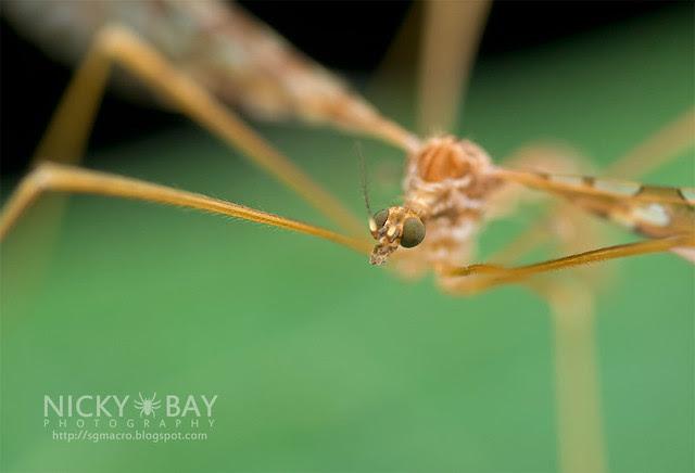 Crane Fly (Tipulidae) - DSC_3153