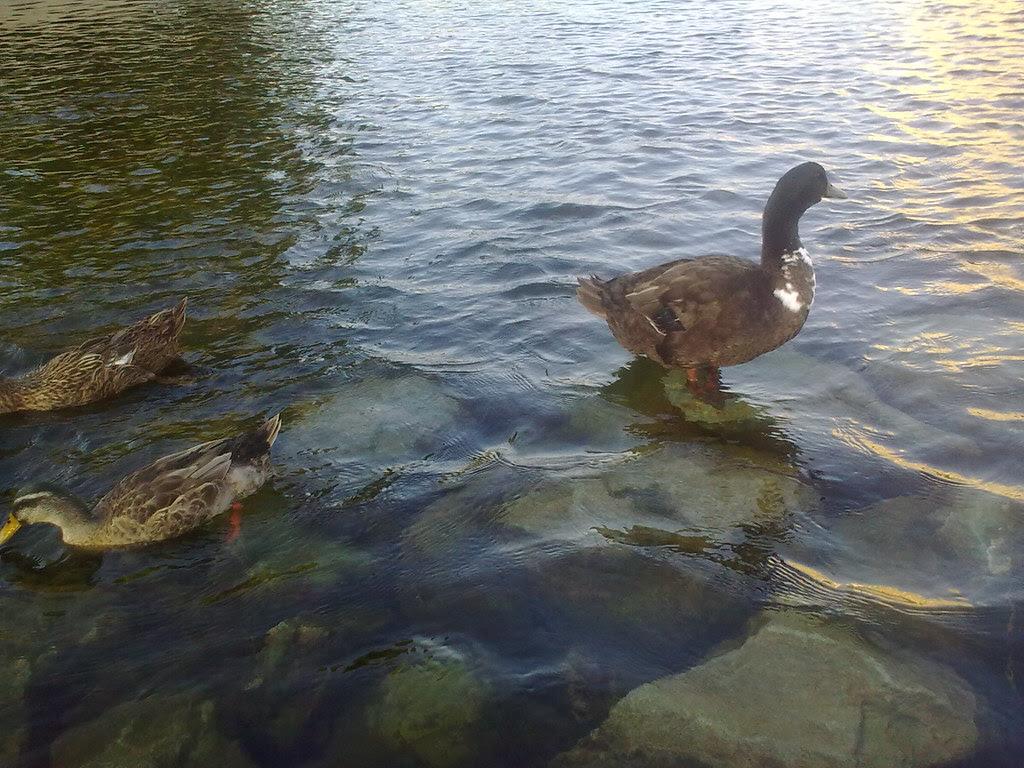 대구 신천둔치 청둥오리 가족 wild duck family at Sinchundunchi, Daegu #4