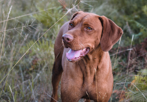 Vizsla - Smooth - Canada's Guide to Dogs