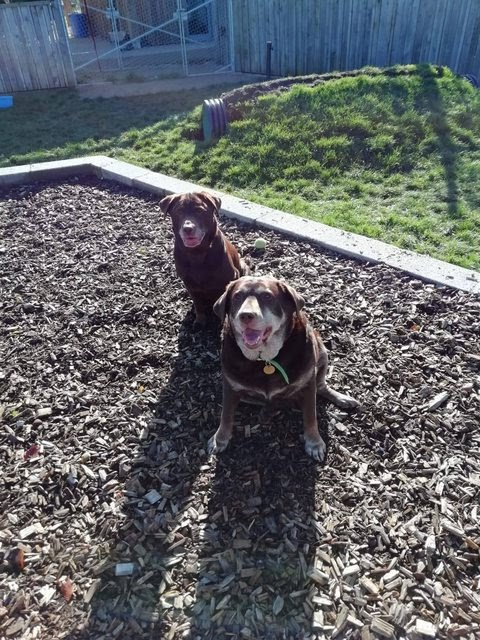 Coco and Lola – 10 and 5 year old female Labradors