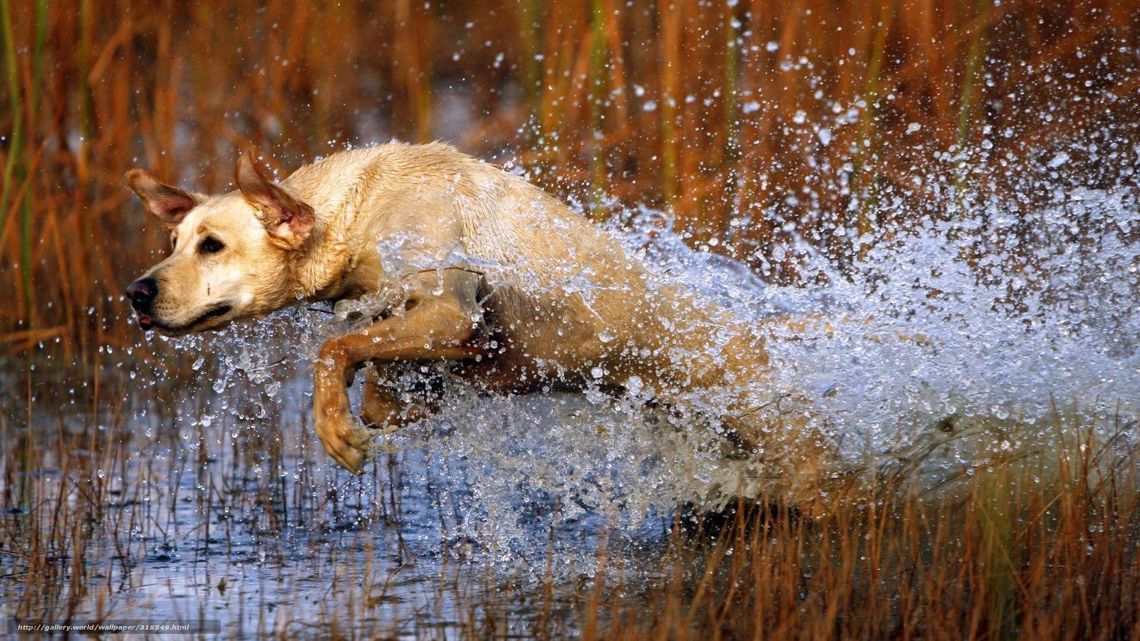 壁紙をダウンロード 犬 犬 ジャンプ 水 デスクトップの解像度のため