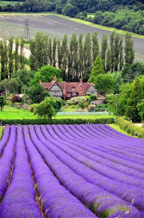 lavender fields, Castle Farm, Shoreham, Kent, England
