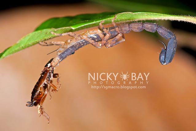 Scorpion (Scorpiones) - DSC_1948