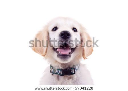 golden retriever puppy wallpaper. house Golden Retriever Puppies
