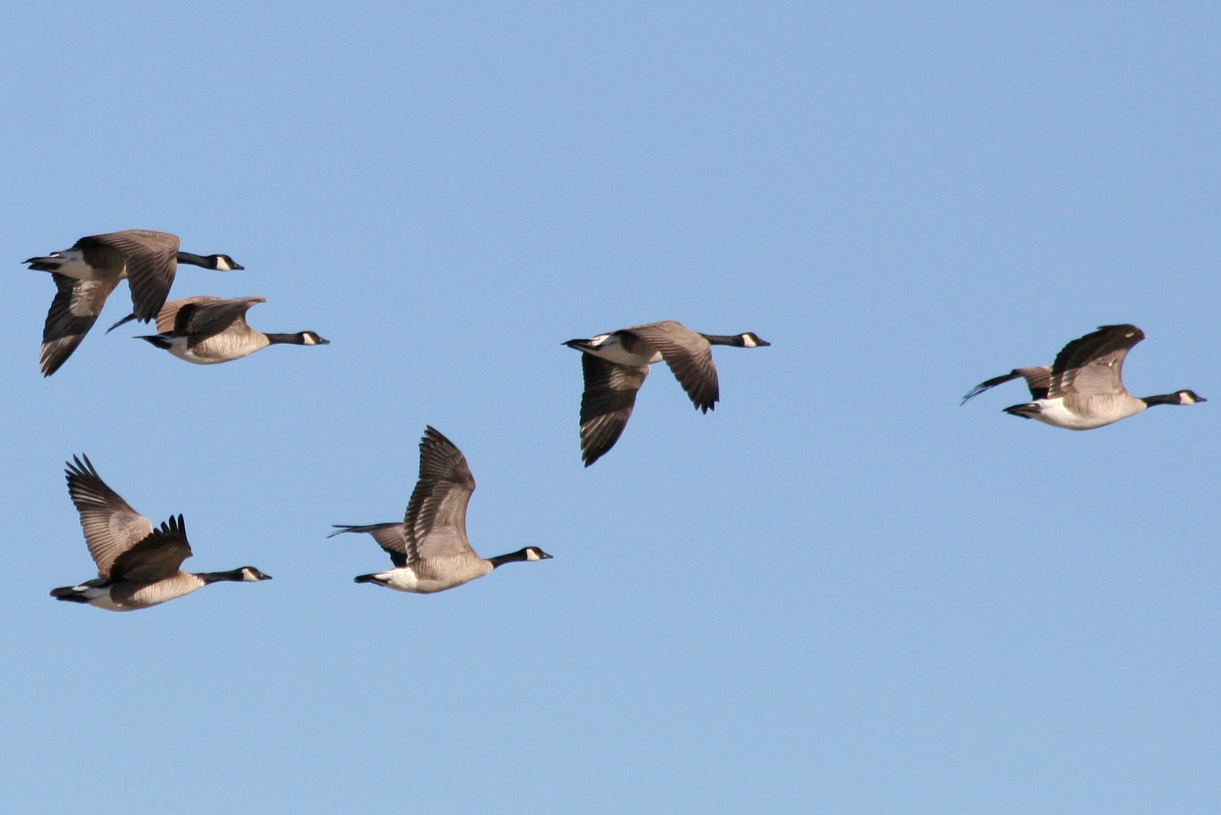 http://nathistoc.bio.uci.edu/birds/anseriformes/Branta%20canadensis/Canada%20Geese,%20V-formation.jpg