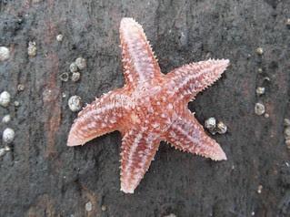 Northern Sea Star, Asterias vulgaris