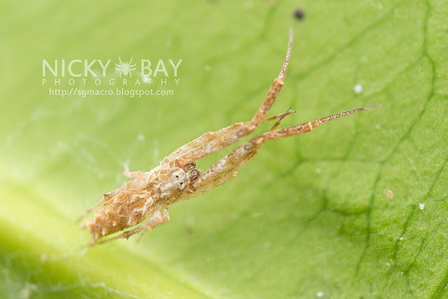 Feather-Legged Spider (Uloboridae) - DSC_6454