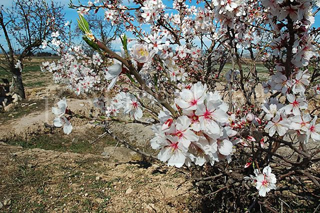 Almond Tree Flowers in the Early Spring