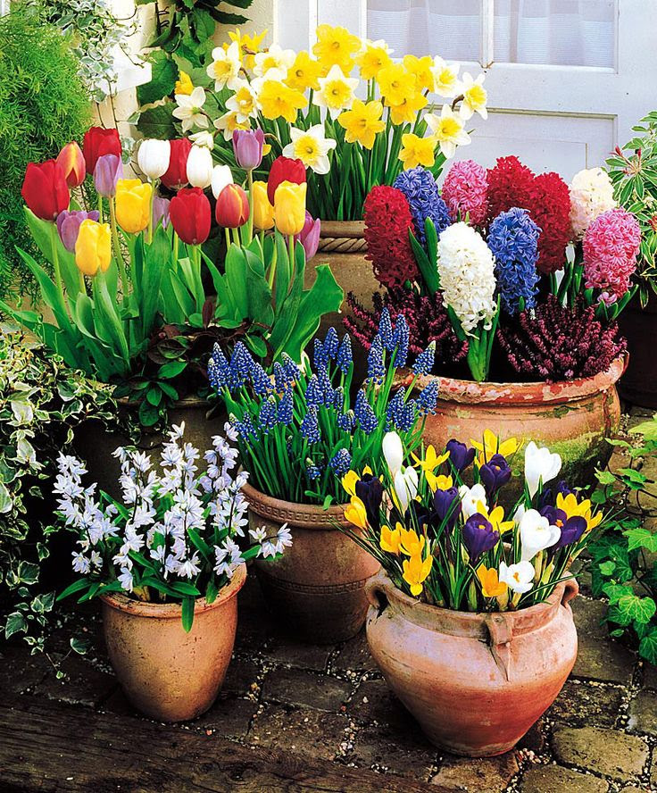 Place bulbs shoulder to shoulder across the surface of the soil, leaving no space between them. Then top off with more potting soil so the bulbs are just slightly below the surface. Water each container thoroughly, and finish with a layer of mulch. Leave pots outdoors for winter chilling. The more exposure to cold the bulbs get, the better they'll bloom. In the South, bulbs in containers will bloom better than bulbs in the ground because cold air envelopes the pots, reaching all of the soil.