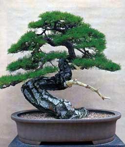 http://www.corea.it/images/b/bonsai08.jpg