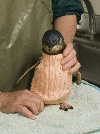 Oiled penguin in jumper