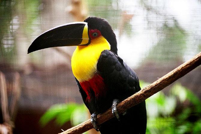Tucano-de-bico-preto fotografado no Parque das Aves, em Iguaçu. Fonte: Wikimedia Commons