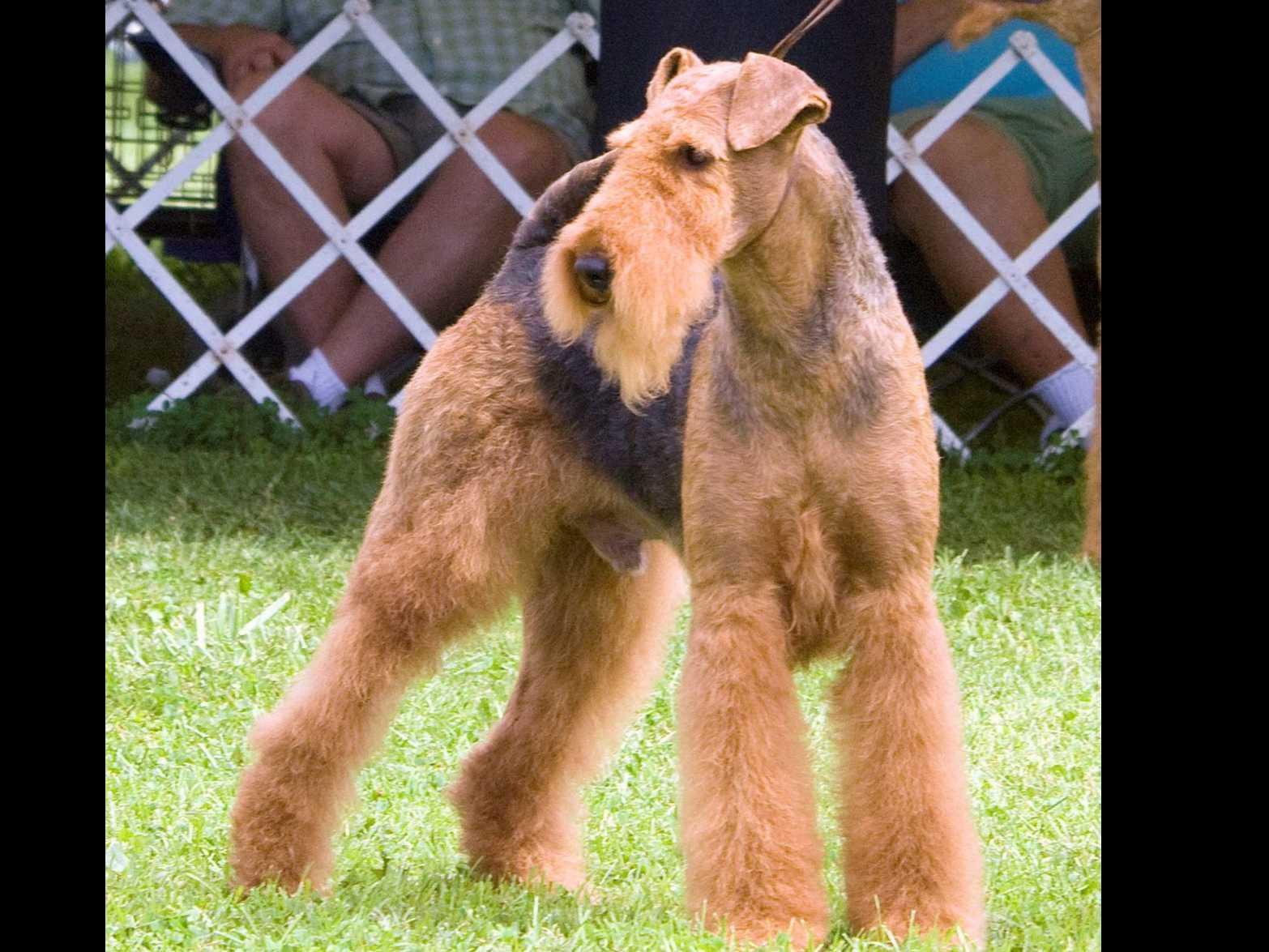 Longvue Airedale Terriers  Dog Breeders  Dagsboro, DE