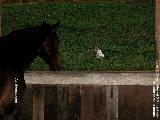 Singapore horse - impaction colic