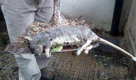 A nest of giant cannibal rats was found in London   UK   News   Express.co.uk