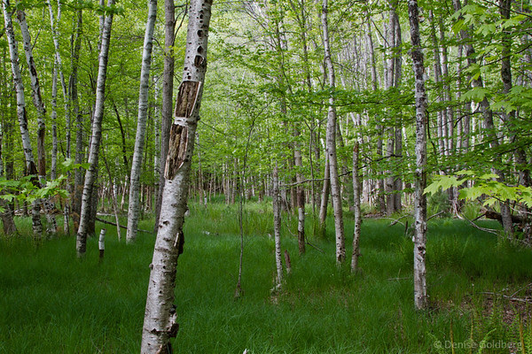 trees along the Jessup path in Acadia National Park