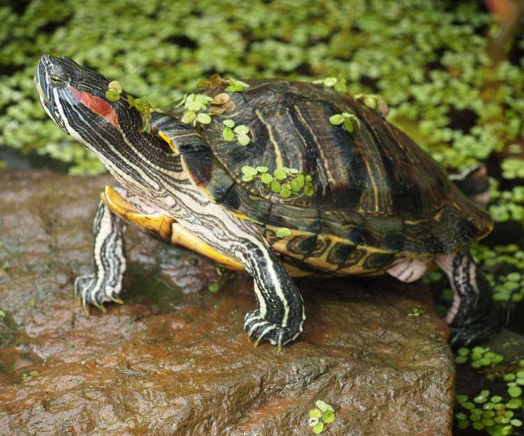 Kırmızı Yanaklı Su Kaplumbağası Evcil Hayvan Market