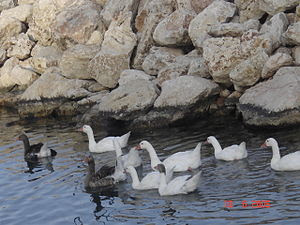 English: Domesticated geese in Siteia, Lasithi...