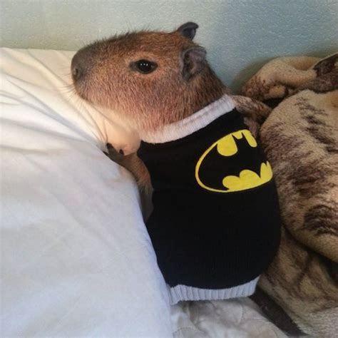 capybara Posts