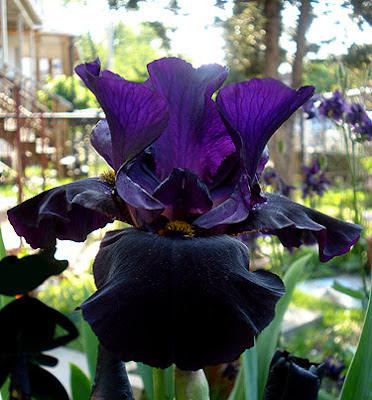 black iris, black plants black flowers