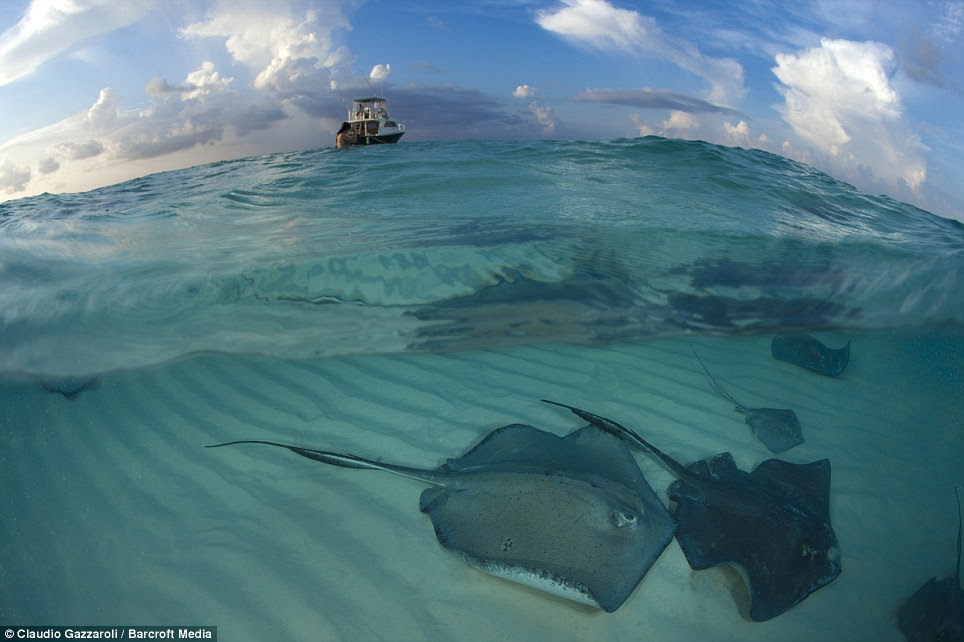 Help: Their numbers have been in decline in the Caymans - and Mr Gazzoroli, from Switzerland, said he hoped conservation efforts would make a difference