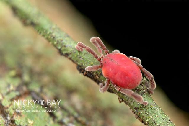 Long-Legged Velvet Mite (Erythraeidae) - DSC_3290