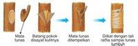 image62 Reproduksi Vegetatif pada Tumbuhan