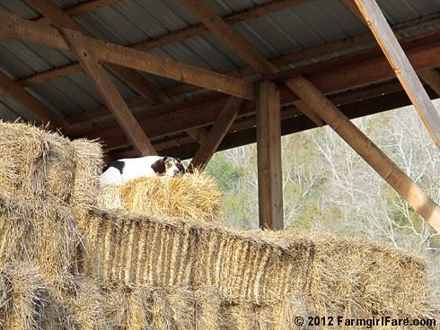 Beagle break 2 - FarmgirlFare.com