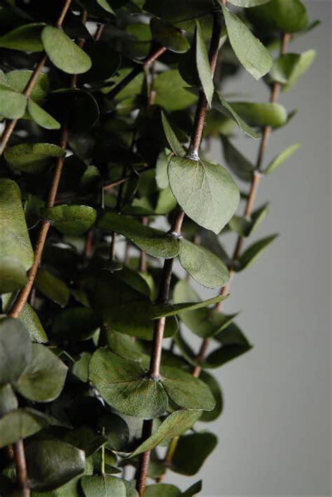 """California Eucalyptus 30"""" Green Branches Natural"""