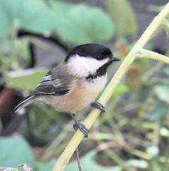 perched chickadee on fall sunflowers 2