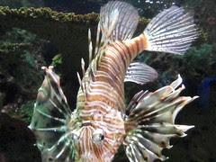 scorpion fish (2)
