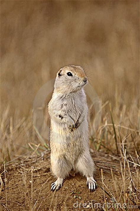 Gopher Standing Up Stock Photography   Image: 15832472