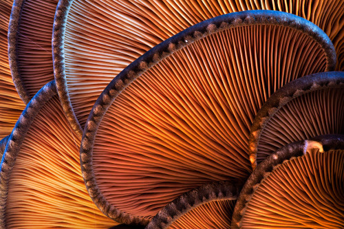 symphony-of-the-elements:  lamella by ~struller  NATURE A SIMPLE MUSHROOM IS NOT SO SIMPLE. IT HAS INTRICATE DETAILS ON THE OUTSIDE AND IN THE INSIDE.