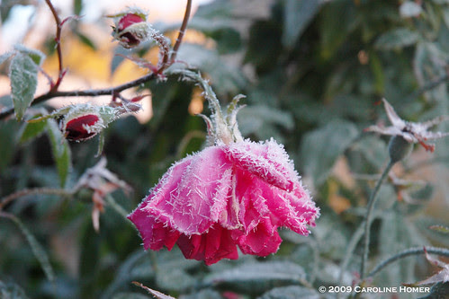 Frost on Old Blush rose