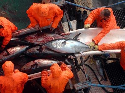 España pescó casi 804 toneladas de atún en 26 días.afp