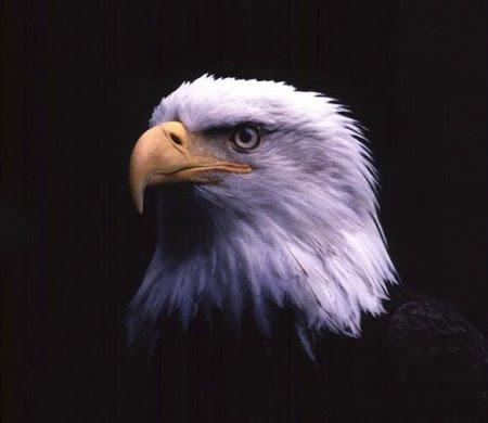 http://pilihan.files.wordpress.com/2008/04/eagle1.jpg?w=450&h=390