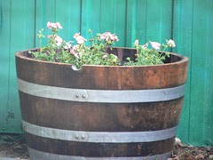 geraniums in a wine barrel