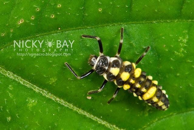 Ladybird larva (Coccinellidae) - DSC_6964