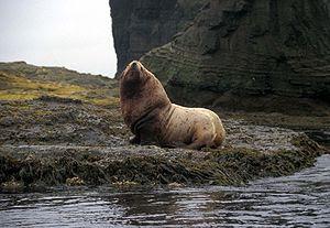 Agattu Island, Steller Sea Lion bull