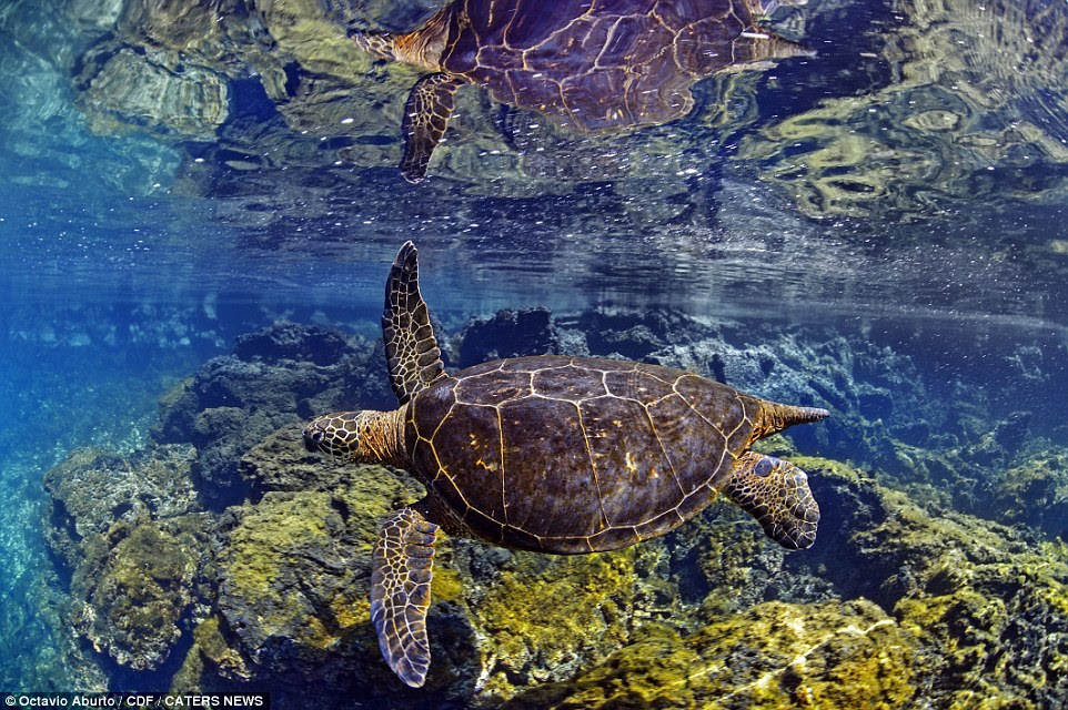 Octavio Aburto travelled to the Galapagos Islands where he captured this image of a sea turtle gliding through the crystal clear water