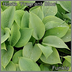 Hosta 'Fragrant Blue' - Funkia