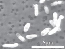 GFAJ-1 grown on phosphorus