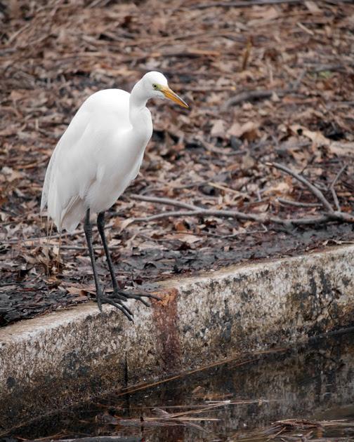 Ed Gaillard: birds &emdash; Great Egret, Turtle Pond, Central Park