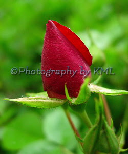 red rose bud from a wild rose bush