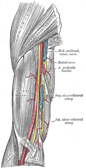 The brachial artery.