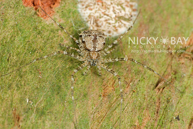 Two-Tailed Spider (Hersiliidae) - DSC_0805